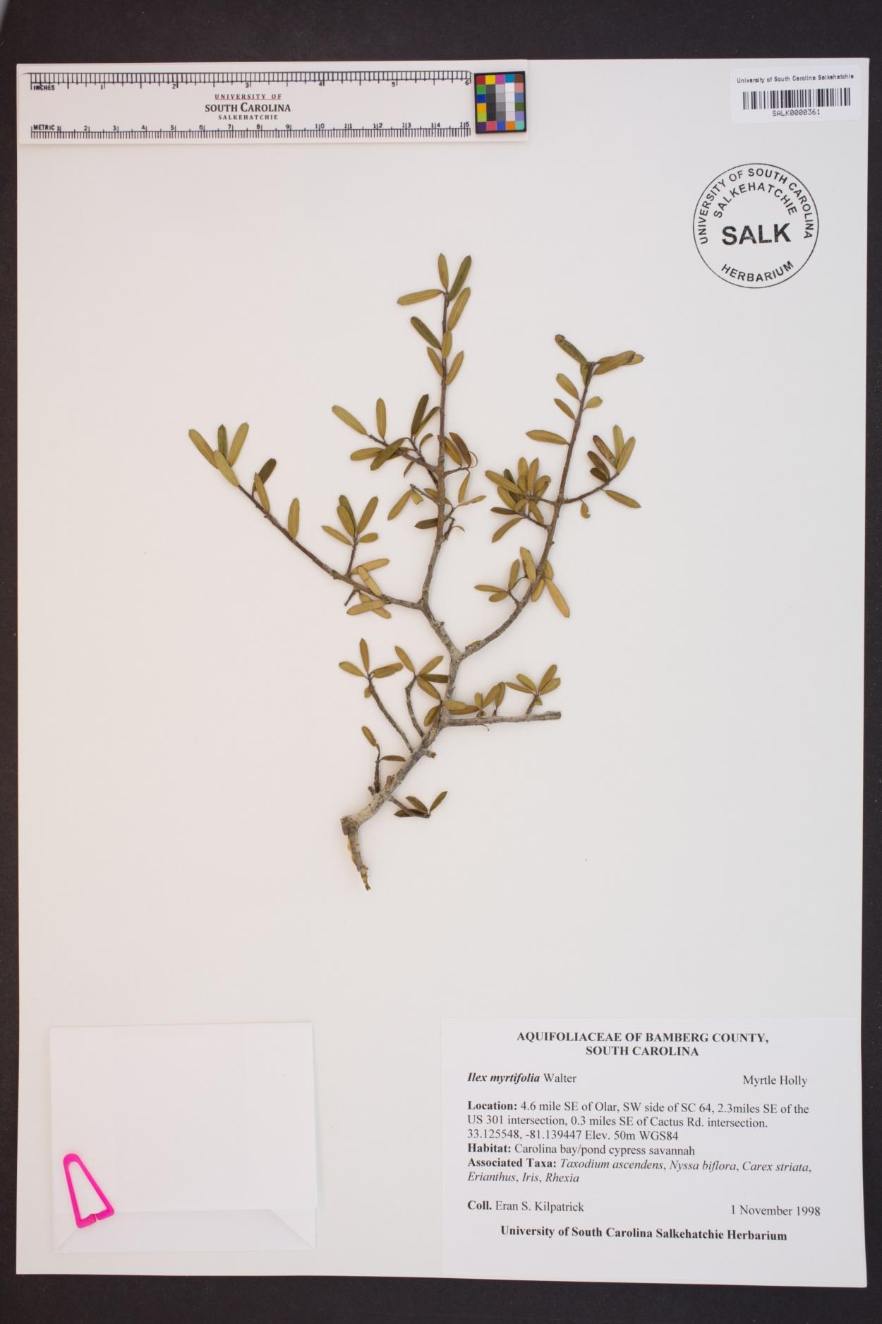 Ilex myrtifolia image