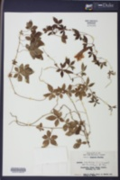 Ipomoea cairica image