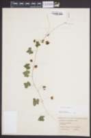 Melothria pendula image