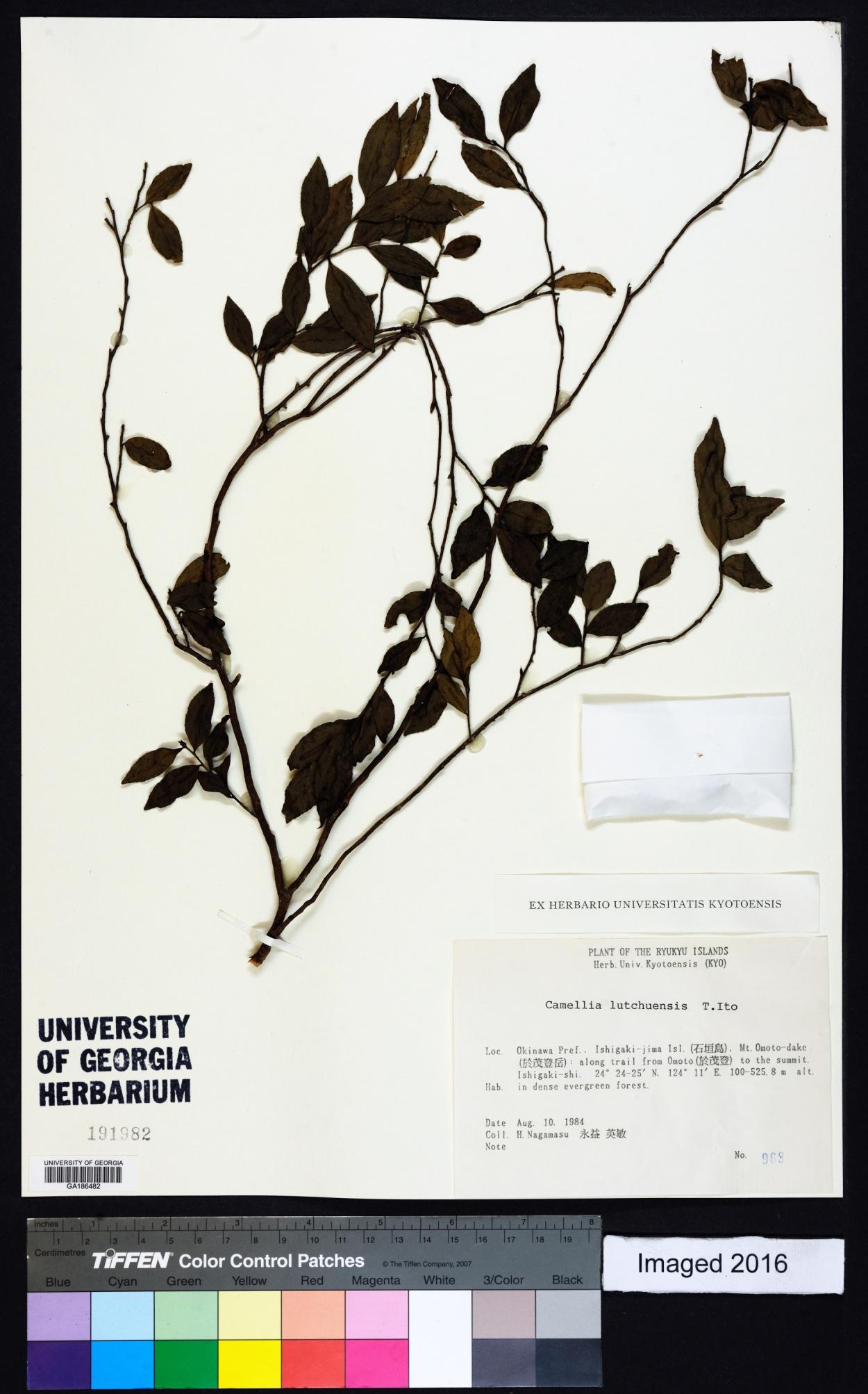 Camellia lutchuensis image