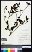 Image of Camellia lutchuensis