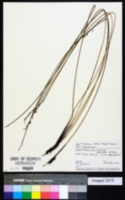 Image of Schoenus tendo