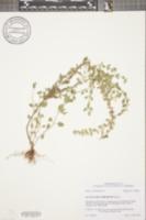 Image of Scutellaria thieretii