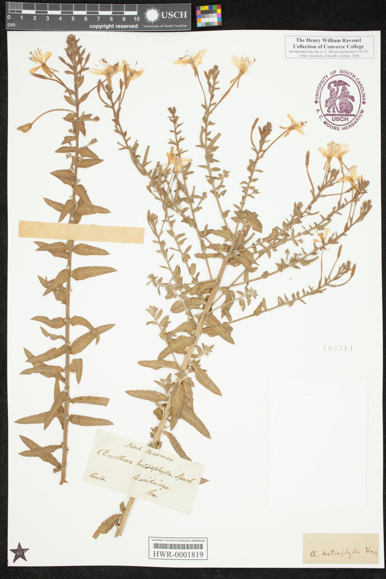 Oenothera heterophylla