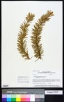 Pseudotsuga menziesii image