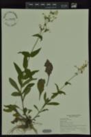 Image of Penstemon arkansanus