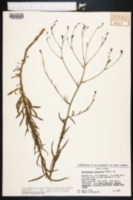 Wahlenbergia linarioides image