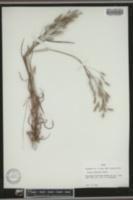 Bromus japonicus image