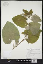 Arctium tomentosum image