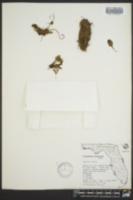 Image of Trichomanes holopterum