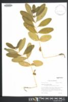 Hypericum tubulosum image