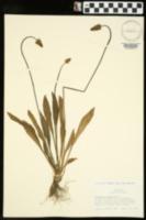 Plantago lanceolata image