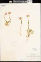 Image of Arabis blepharophylla