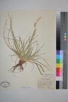 Image of Carex cherokeensis