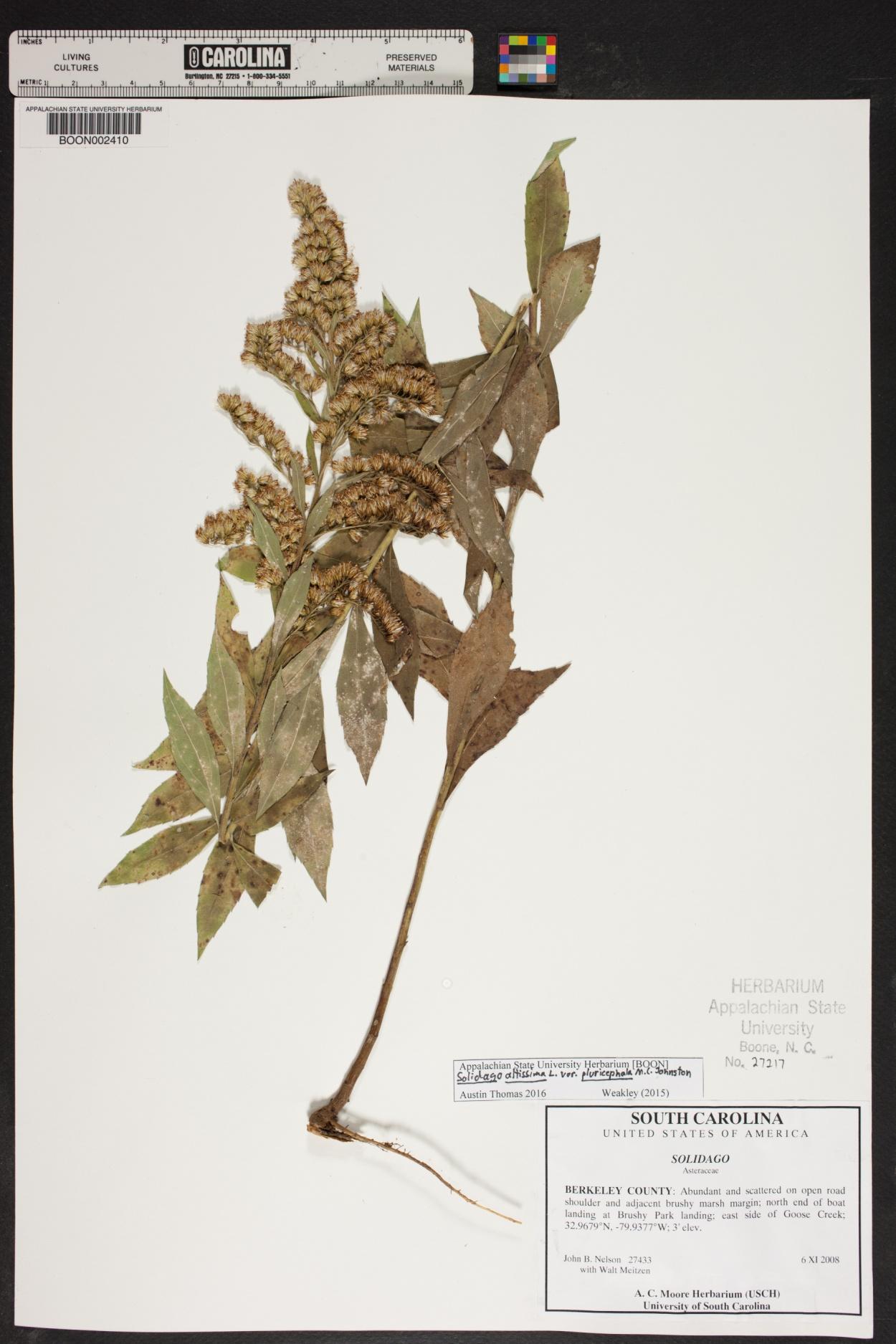 Solidago altissima var. pluricephala image