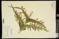 Dipsacus laciniatus image