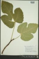 Ficus carica image