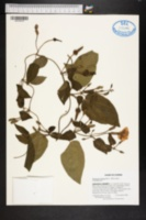 Thunbergia fragrans image