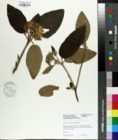 Image of Viburnum integrifolium
