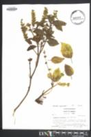 Image of Ocimum basilicum
