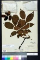 Carya alba image