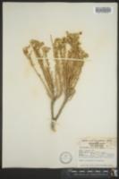 Tetradymia glabrata image
