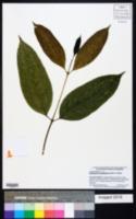 Image of Idiospermum australiense
