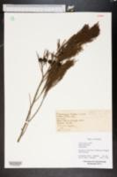 Callitris glauca image