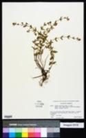 Image of Cuphea glutinosa