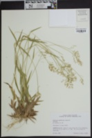 Dichanthelium laxiflorum image