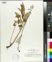 Sanguisorba officinalis image
