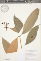 Garcinia intermedia image