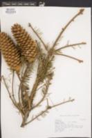 Picea abies image