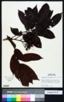 Image of Campsiandra laurifolia