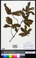 Quercus incana image