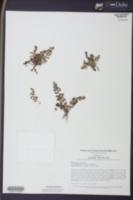 Image of Cosentinia vellea