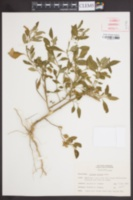 Image of Solanum gracile