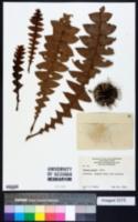 Image of Banksia grandis