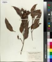 Image of Eucalyptus gummifera