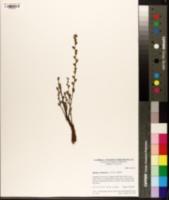 Epifagus virginiana image