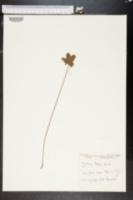 Image of Cyperus bushii