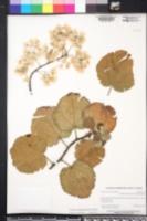 Dombeya rotundifolia image