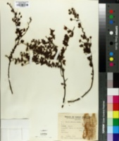 Image of Mimosa cruenta