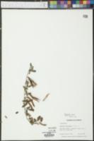 Galactia minor image