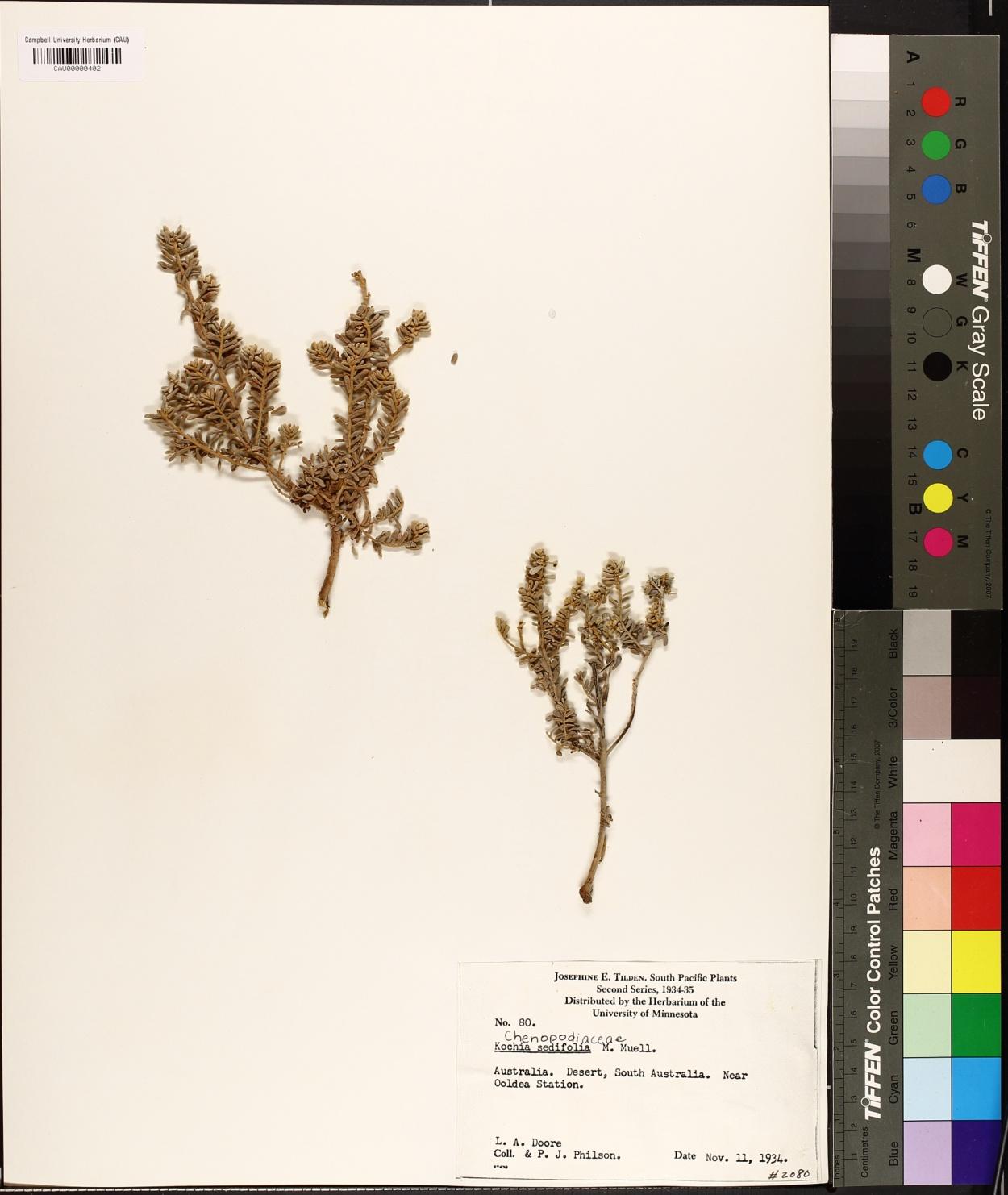Kochia sedifolia image