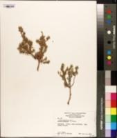 Image of Kochia sedifolia