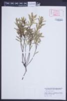 Daphne gnidium image