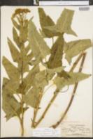 Synosma suaveolens image