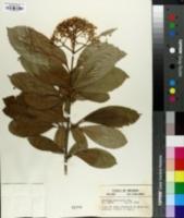 Image of Viburnum sieboldii
