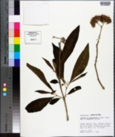 Image of Aegiphila integrifolia